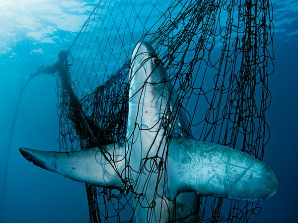 Netted Shark
