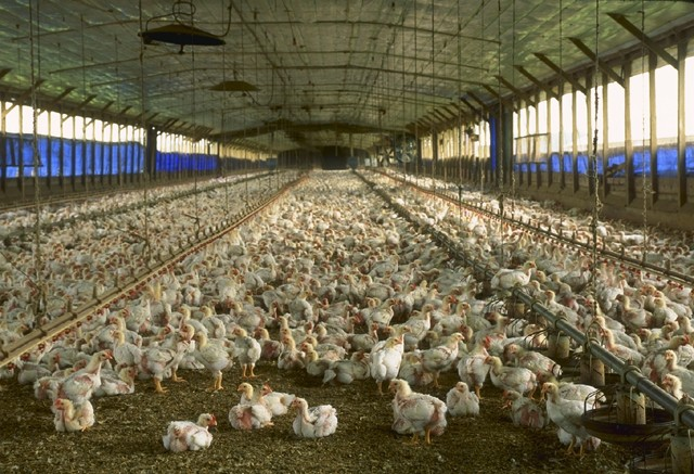 Many organic and free-range farms are reported to cram thousands of animals together in sheds or mud-filled lots to increase profits, just as factory farms do